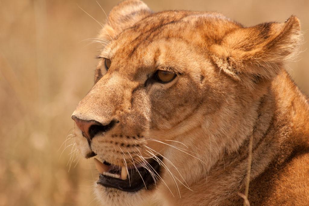 lejonhona i Serengeti