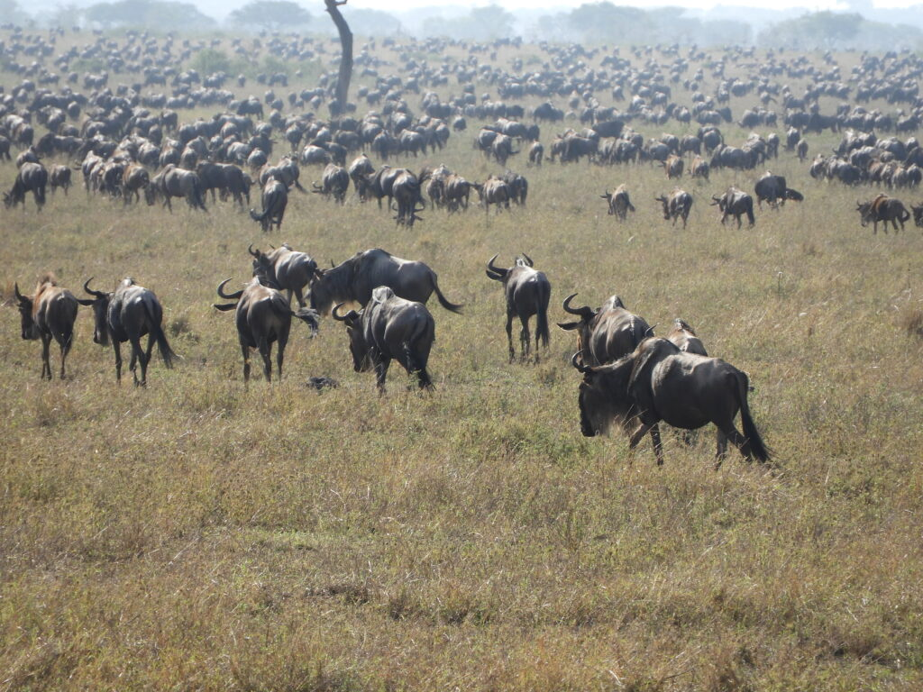 Serengeti migrationen