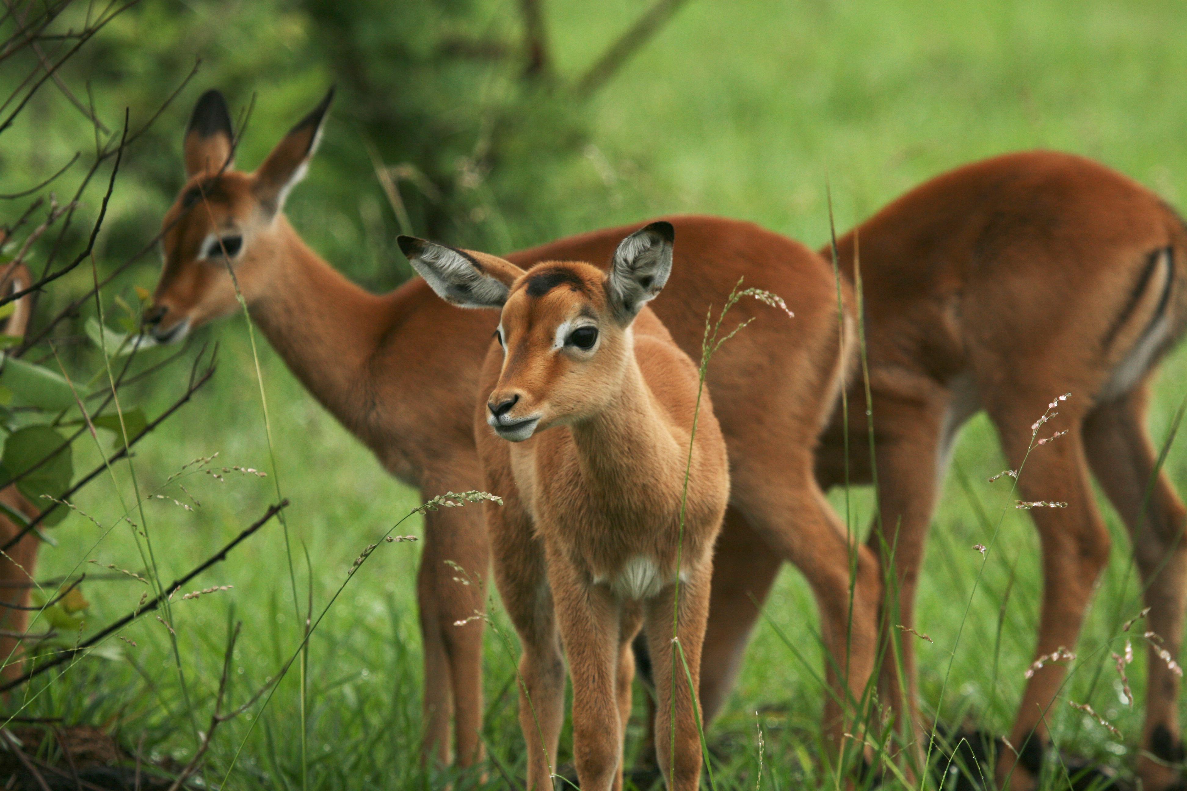 Impala föl Kruger National Park
