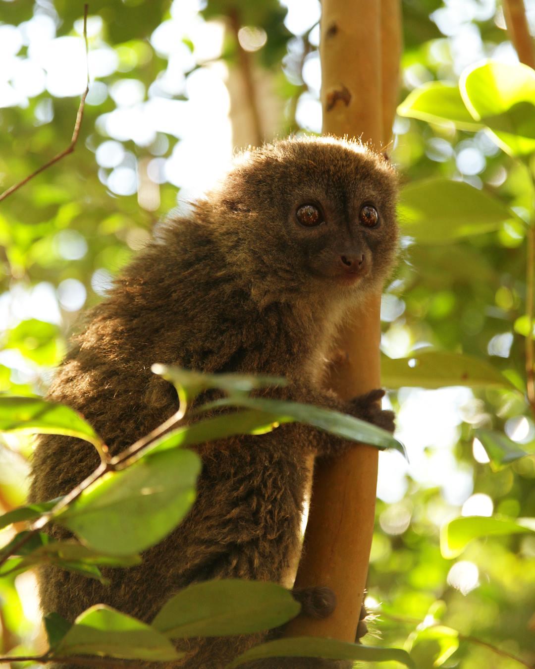 Bambu Lemur Madagaskar