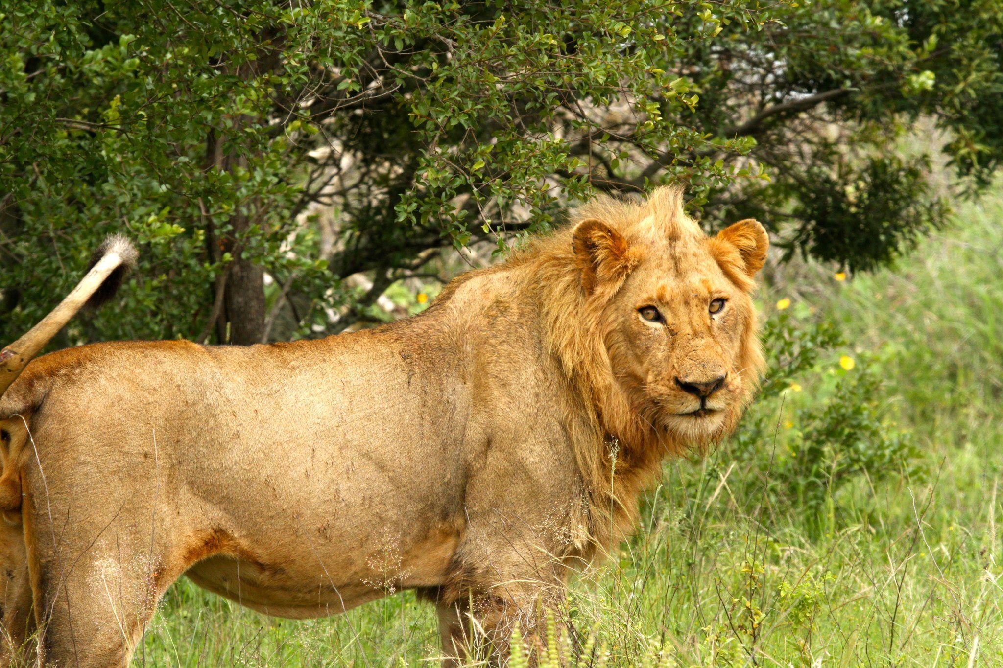 Lejonhanne Kruger National Park