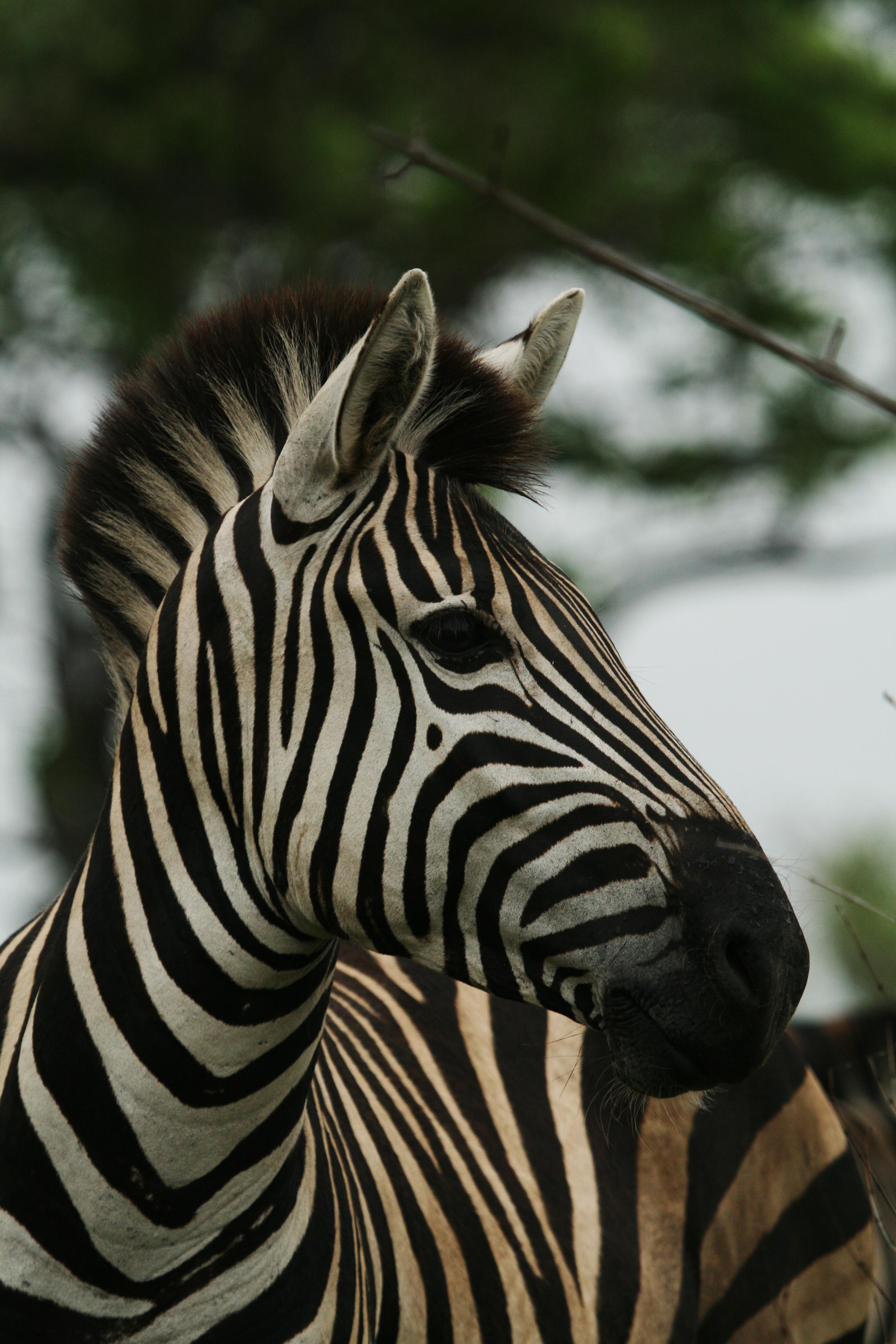 Zebra Krugerparken