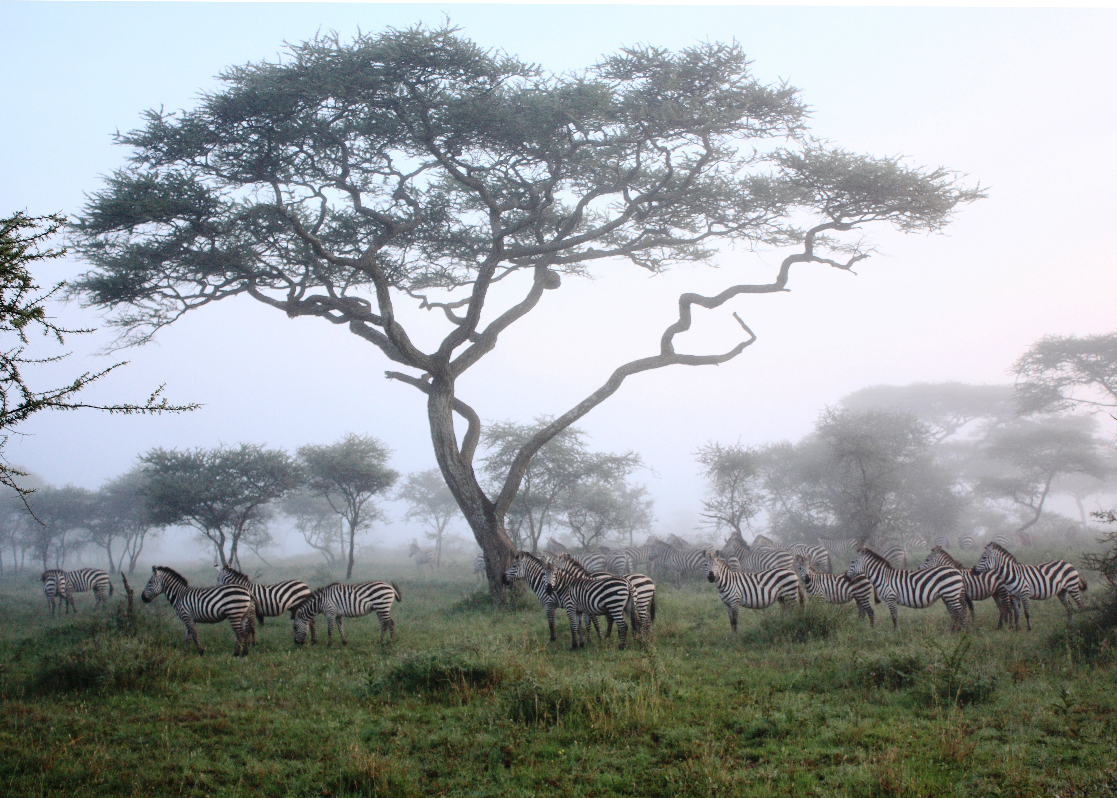 Zebror Serengeti