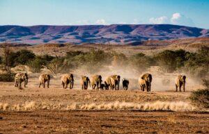 Ökenelefanter i Namibia