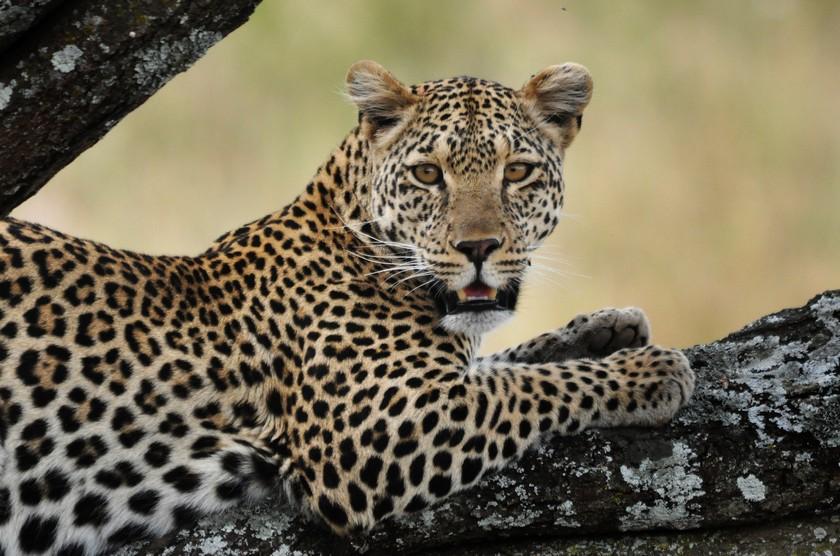 Afrikas stora kattdjur