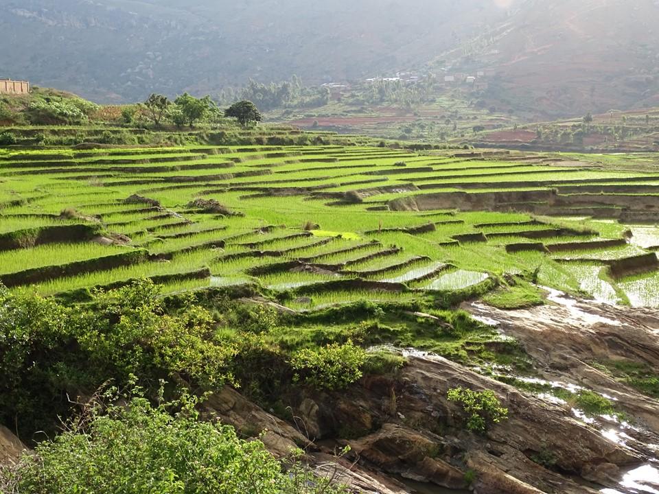 Risodlingar på Madagaskar