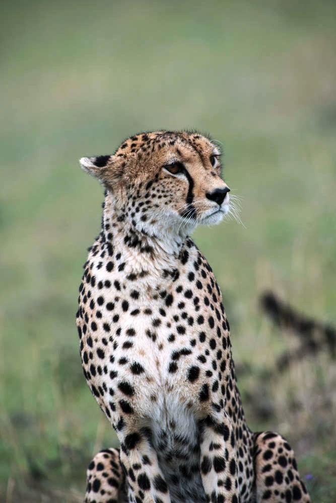 Ett av Afrikas kattdjur