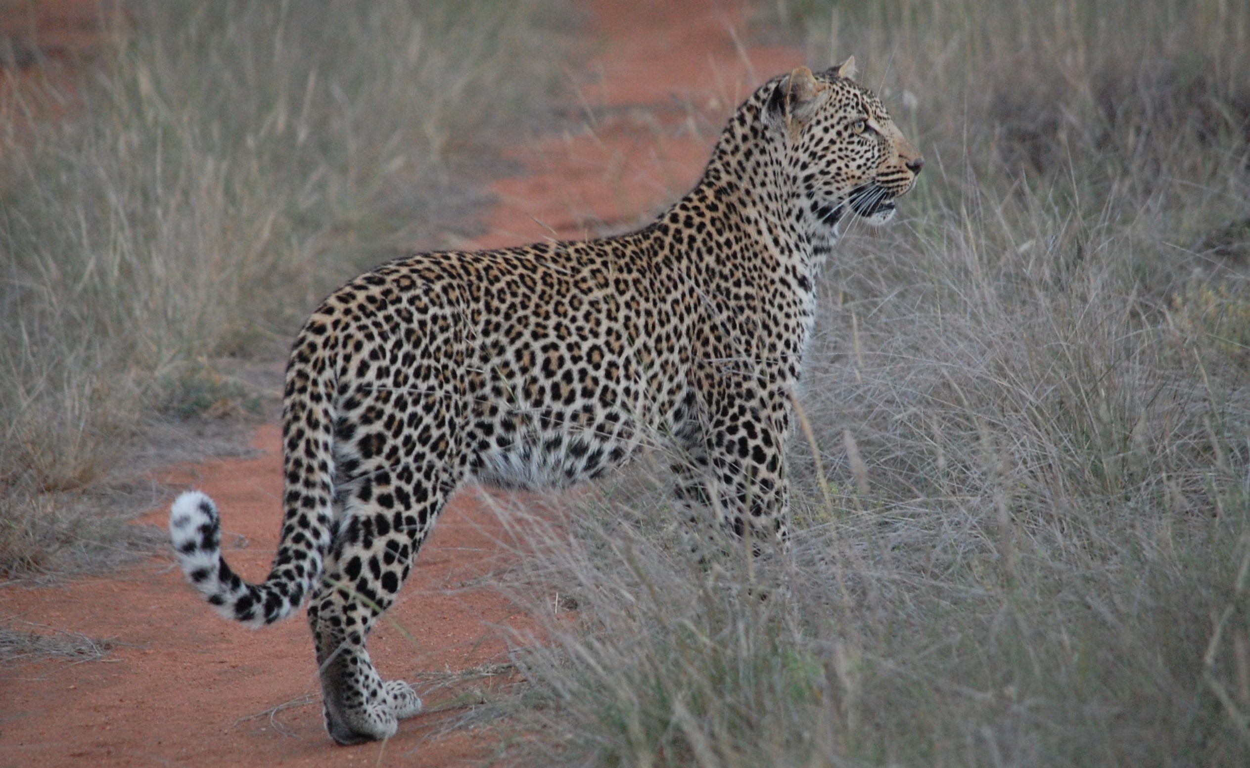 Leopard i Kruger National Park, Sydafrika