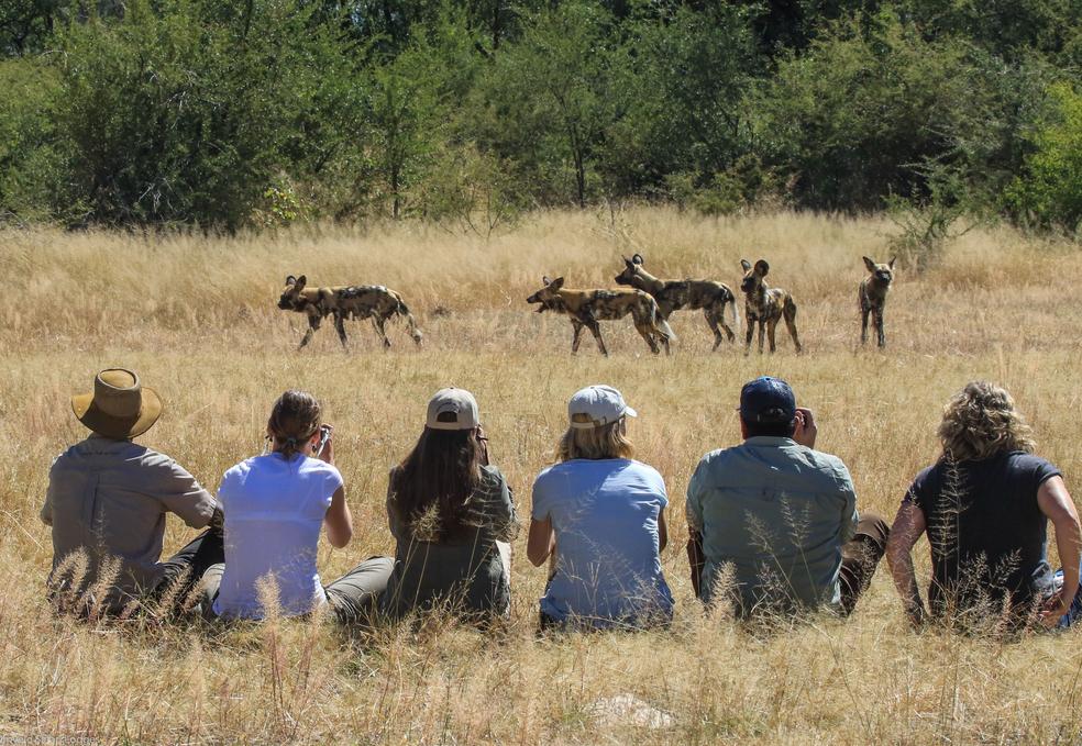 Vildhundar Sydafrika