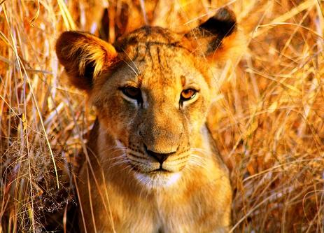 Lejon Nyerere National Park