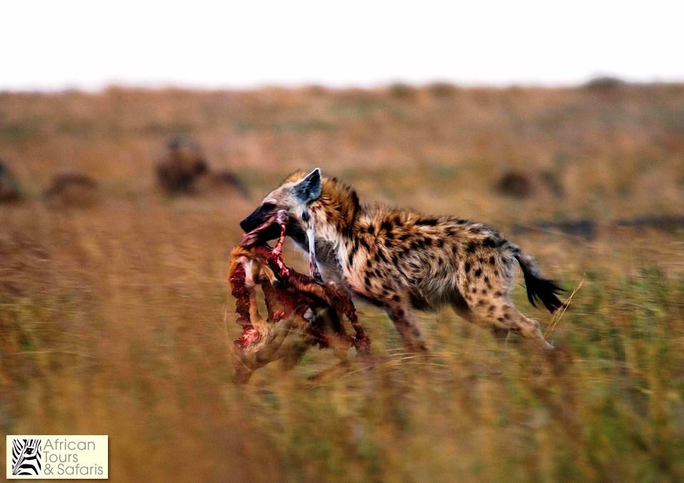 Fläckig hyena med ett byte
