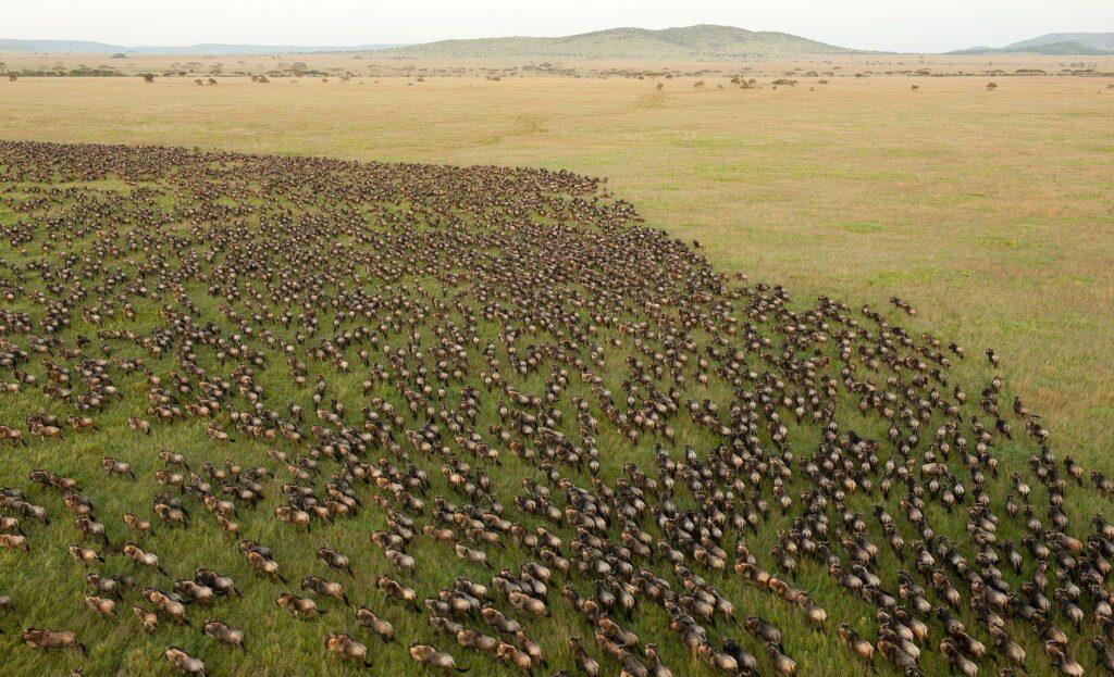 Migrationen i Ndutu