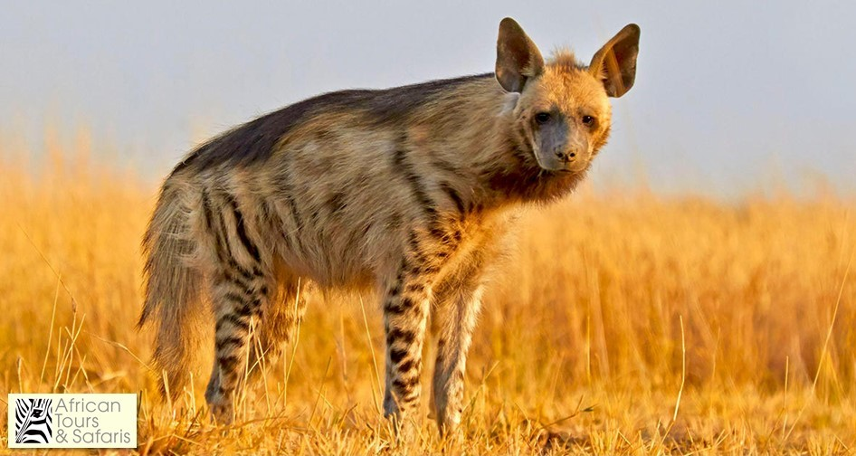 Strimmig hyena (engelska; striped hyena)