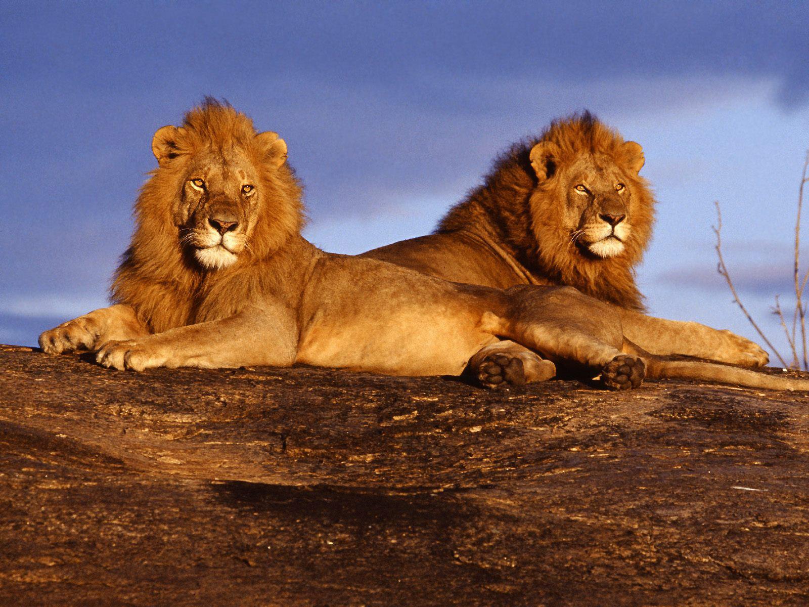 Lejon i Tsavo