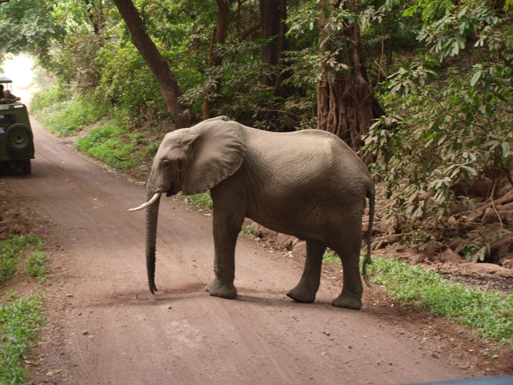 Elefant i Lake Manyara