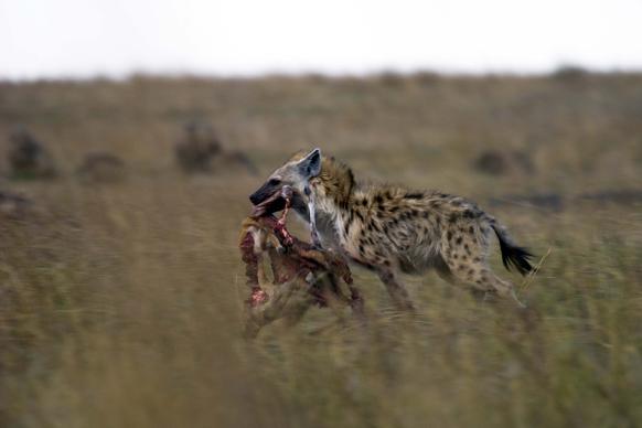 hyena med ett byte i ngorongorokratern tanzania