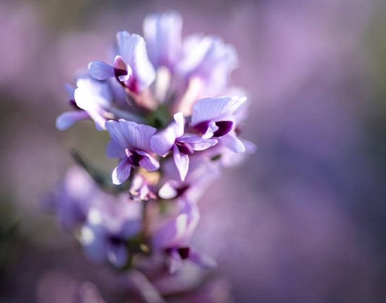 Blommande fynbos i Gondwana